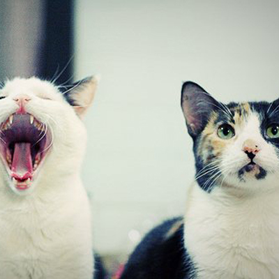 two cats-one roar